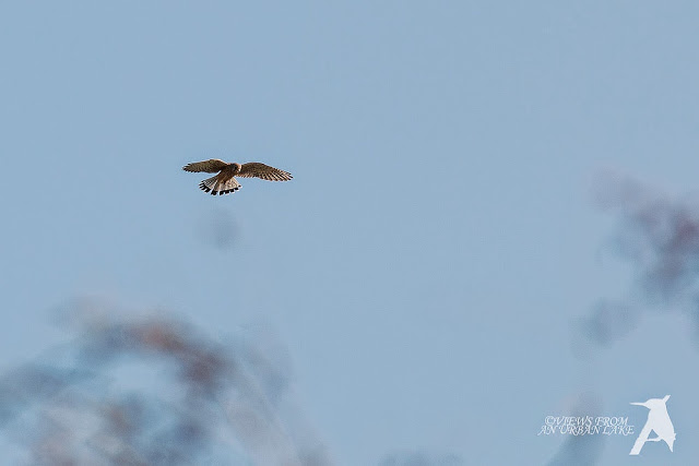 Common Kestrel (cropped photo) - Friday's Manor Farm Walk