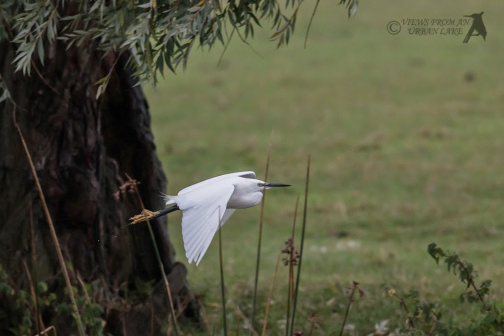 Little Egret in Flight - Wolverton Mill, Milton Keynes
