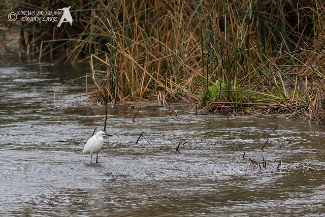 Little Egret on the River Ouse - A Frustrating Walk