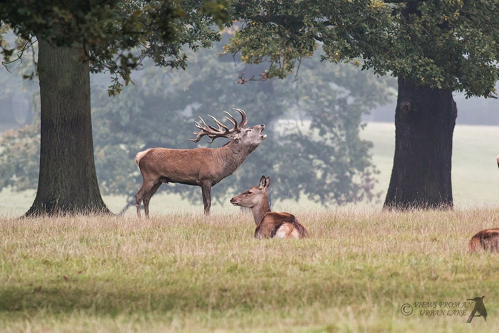 Bellowing stag Red Deer