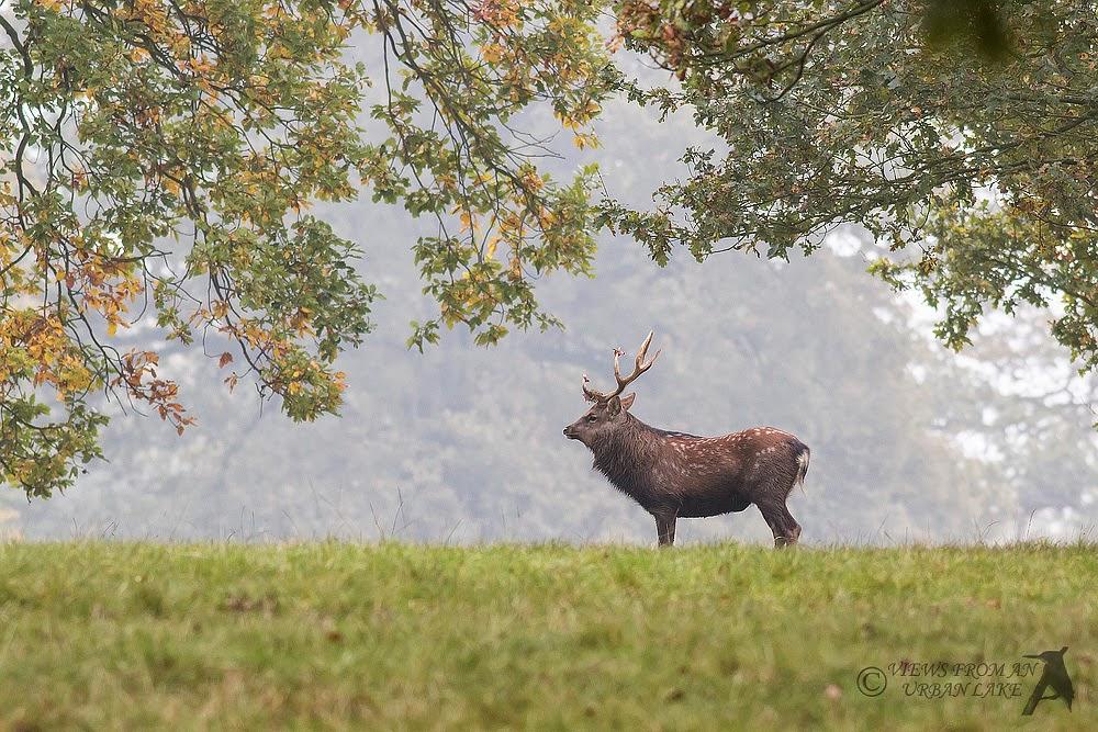 Stag Sika Deer