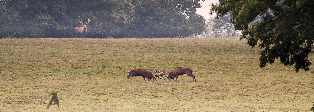The Real Thing - Red Deer Rut (bit distant)