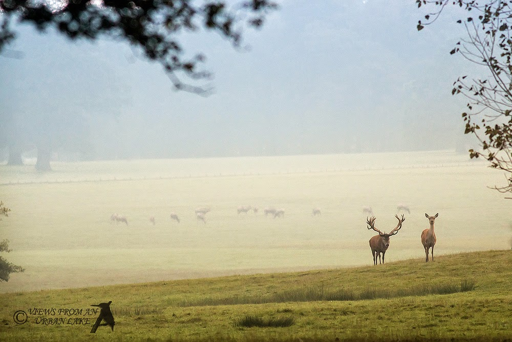 Early morning mist and Red Deer