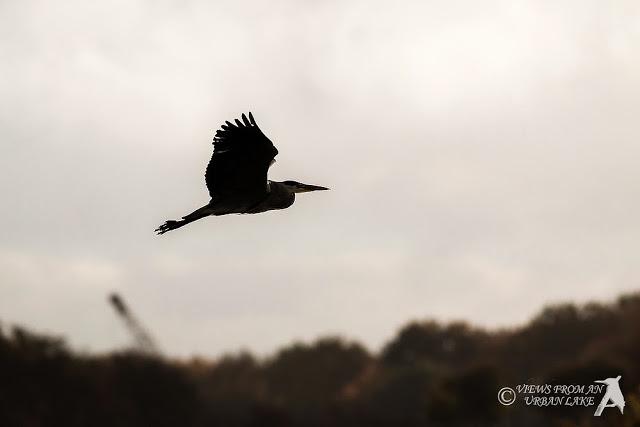 Grey Heron in Silhouette - A Quick Walk around Manor Farm