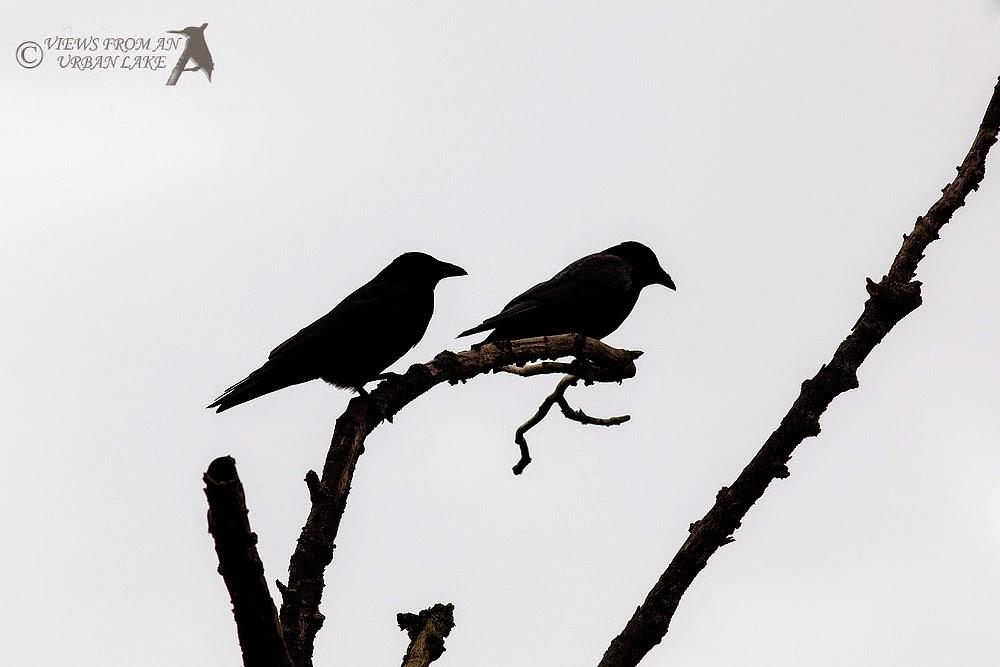 Carrion Crows in Silhouette - Manor Farm, Milton Keynes