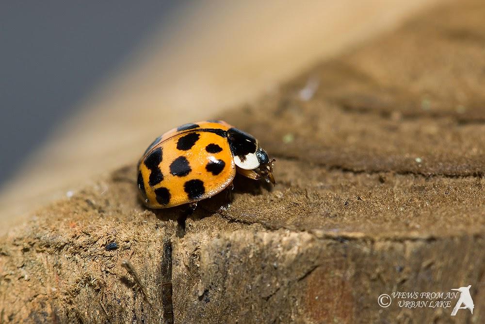 Harlequin Ladybird Adult