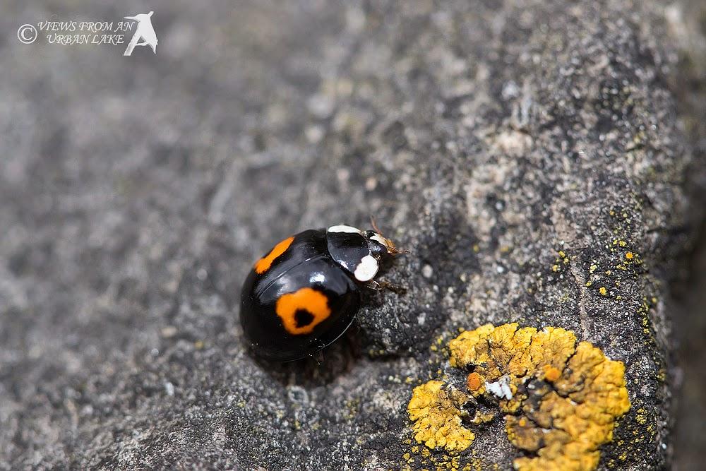 Harlequin Ladybird (two spot) - Old Wolverton, Milton Keynes