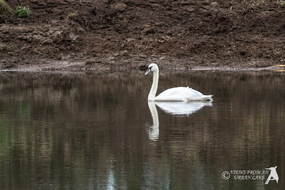 Mute Swan - Manor Farm, Milton Keynes