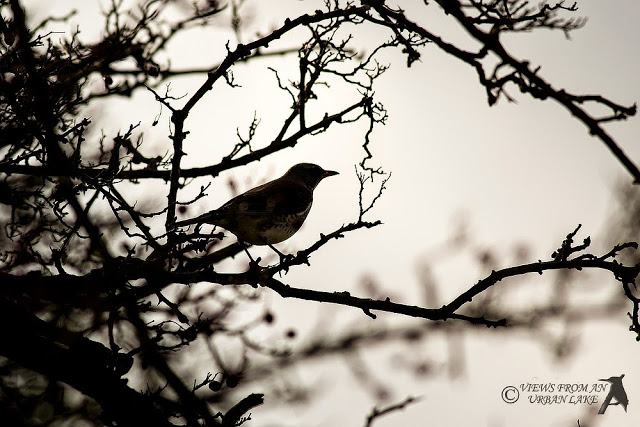 Fieldfare in Silhouette - An Unexpected Surprise