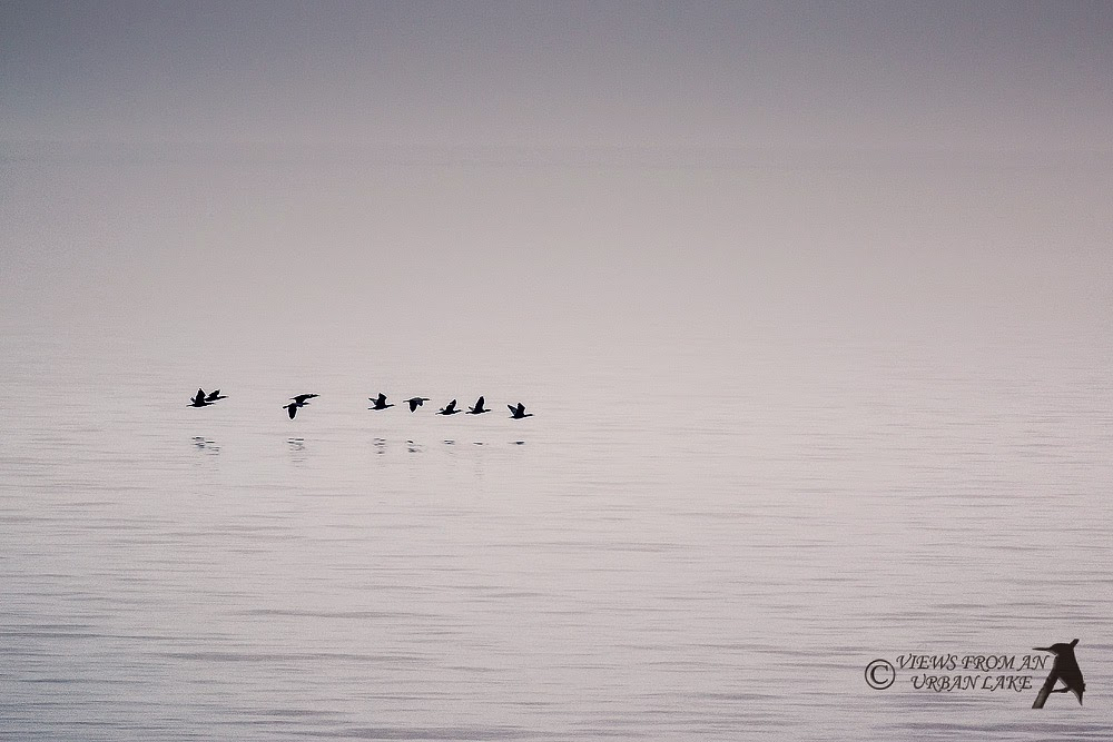 Flight of the Cormorant - Reculver, Kent