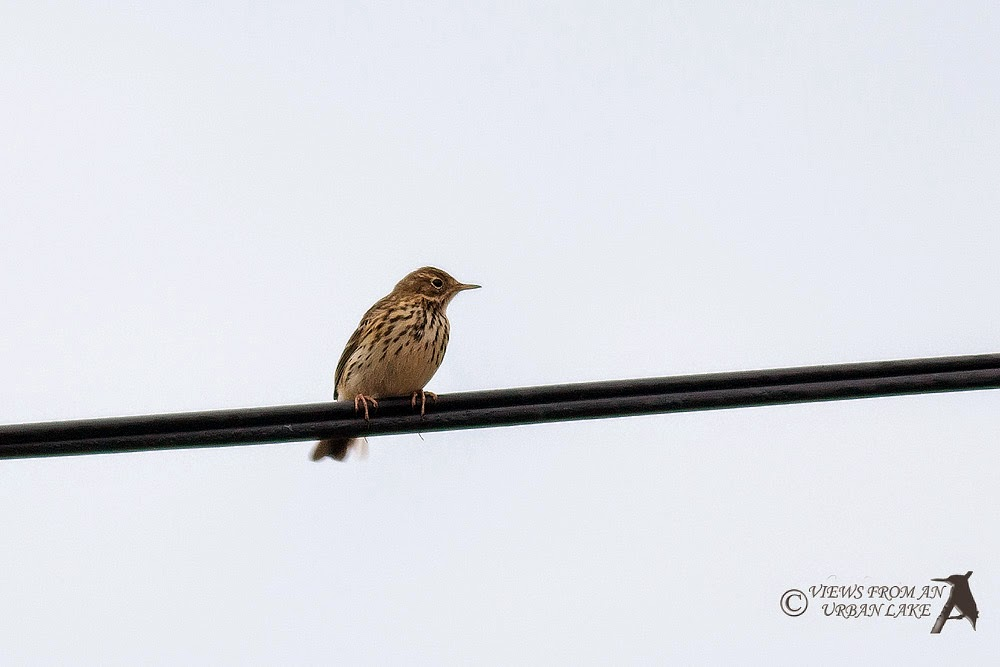 Meadow Pipit - Reculver, Kent