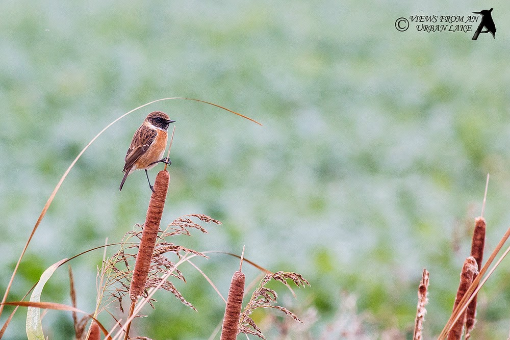 Stonechat (Male - heavy crop) - North Kent