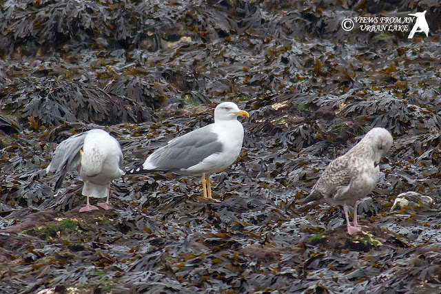 Adult Yellow-Legged Gull - Sunday Morning Seawatch in Kent