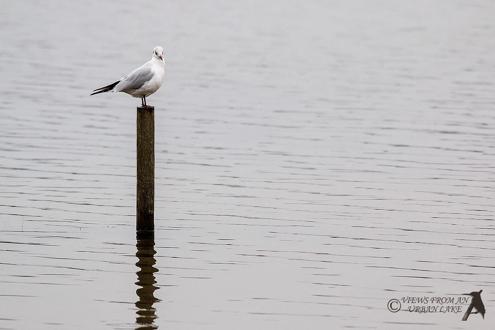 Black-Headed Gull on post - Willen Lake, Milton Keynes