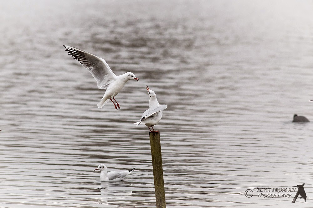 Black-Headed Gull (Flight) - Willen Lake North, Milton Keynes