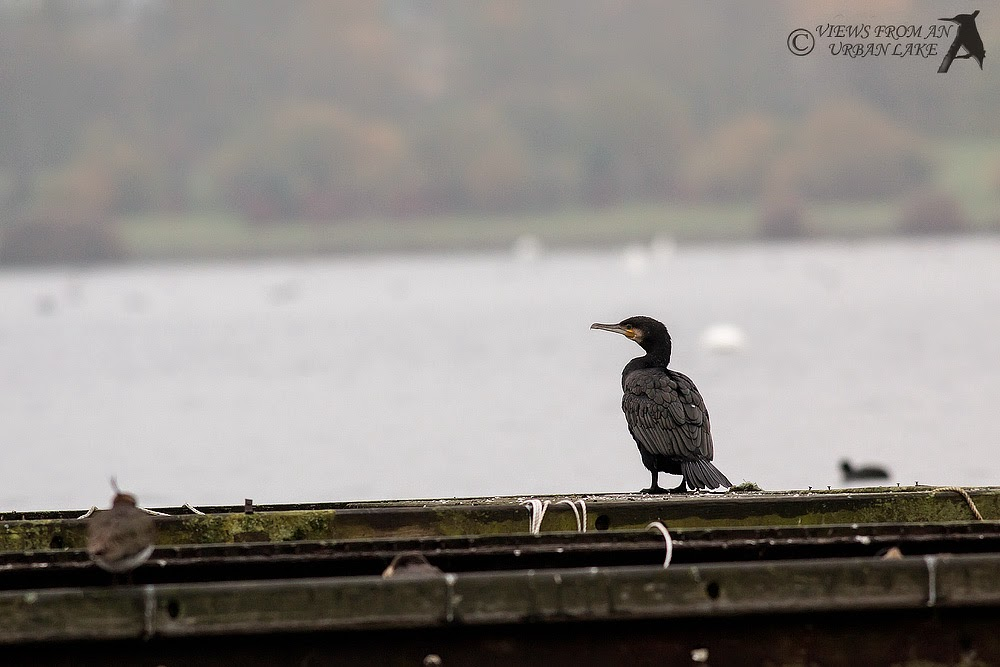 Cormorant on Pontoon - Willen Lake, Milton Keynes