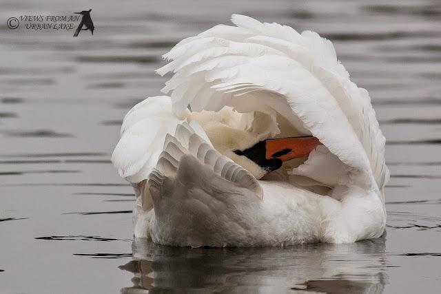 A Grey Day at Willen Lake - Mute Swan - Willen Lake