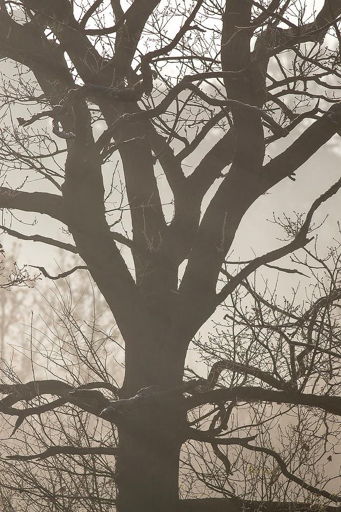 Misty Oak