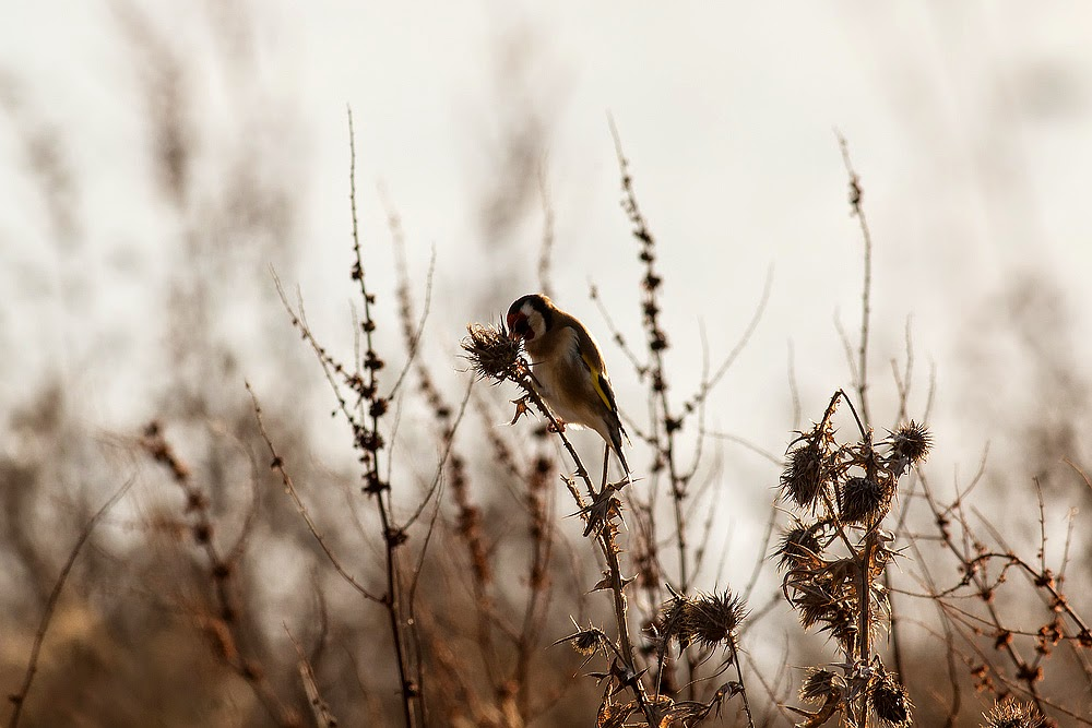 Goldfinch - Manor Farm, Milton Keynes