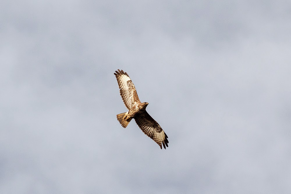 Common Buzzard - Manor Farm, Milton Keynes