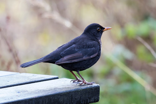 New Manor Farm Bird - Blackbird at Manor Farm