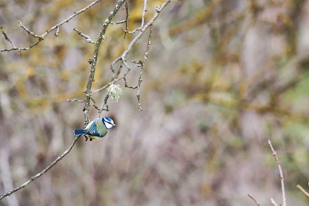 Blue Tit - Manor Farm, Milton Keynes