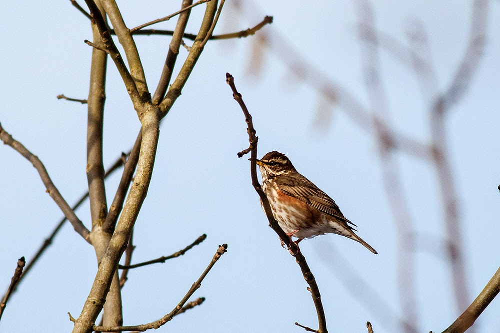 Redwing, one of the birds seen the day of Ben's realisation. Outdoors Wellness With Ben Reeve