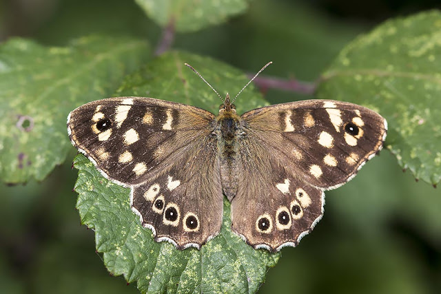 Speckled Wood - One of the commonest butterflies in Linford Wood