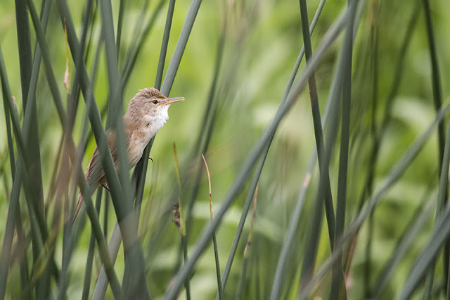 A Reed warbler along the river Ouse