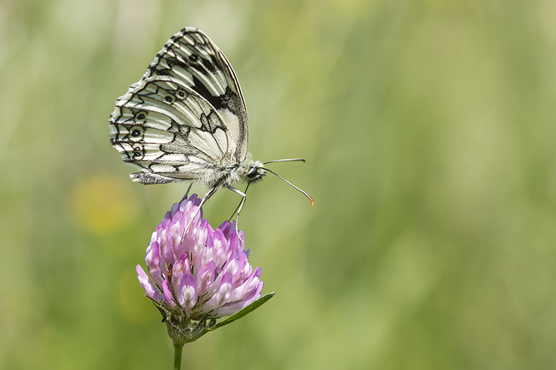 One of the best places to see Marbled White Butterfly - Blue Lagoon Nature Reserve