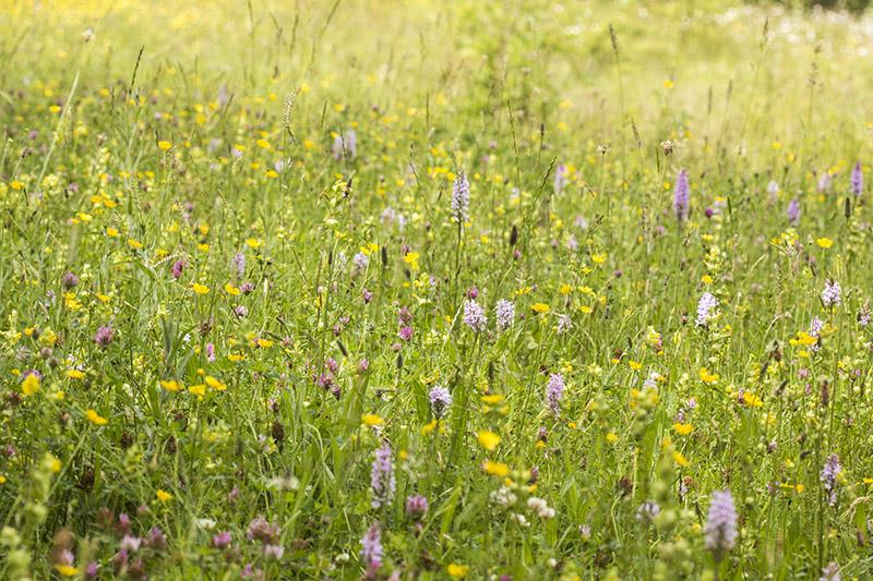 Flower Meadow at Howe Park Wood - One of the best butterfly sites in Milton Keynes