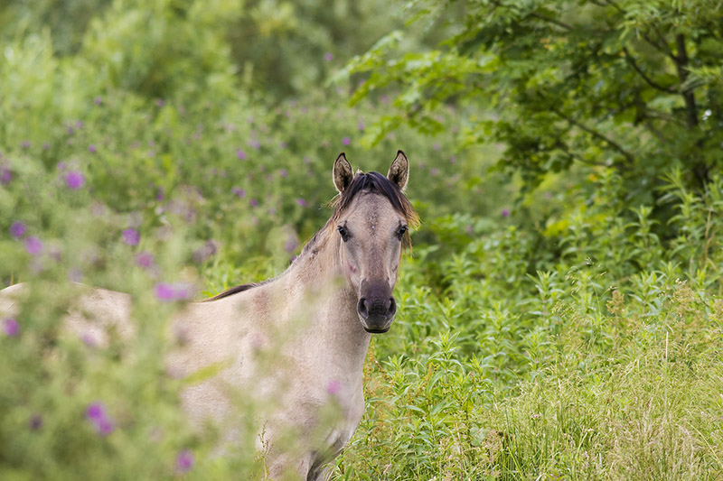 Konik Pony at the Floodplain Forest