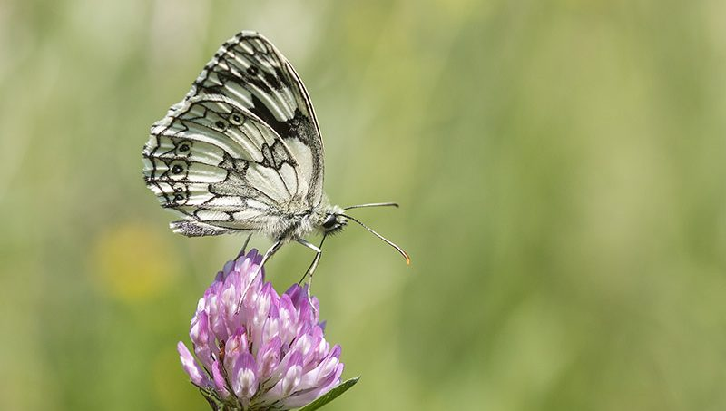 Marbled white butterfly - How to photograph butterflies maybe?