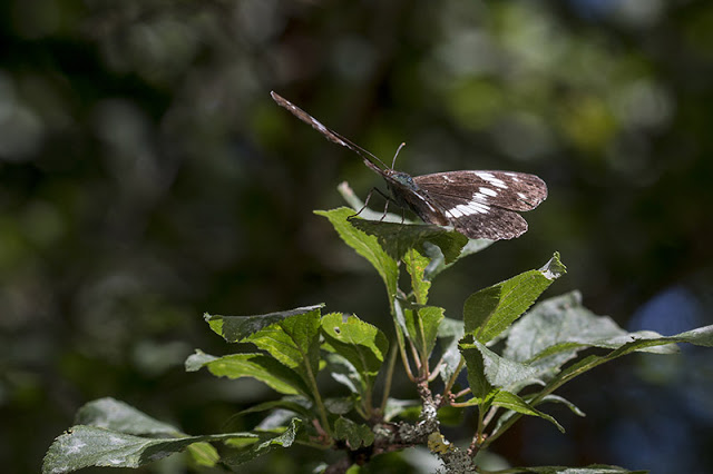 White Admiral Butterfly at Oakhill Wood