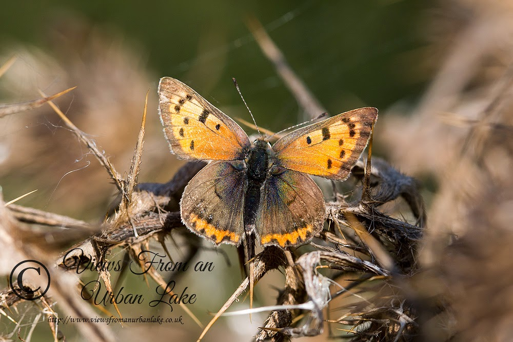 Butterflies of Milton Keynes - Small Copper