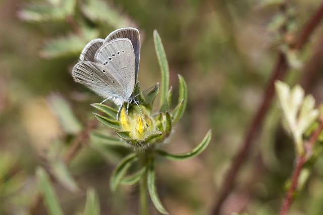 Small Blue butterlfy