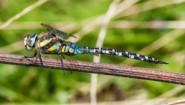 Dragonflies of Milton Keynes