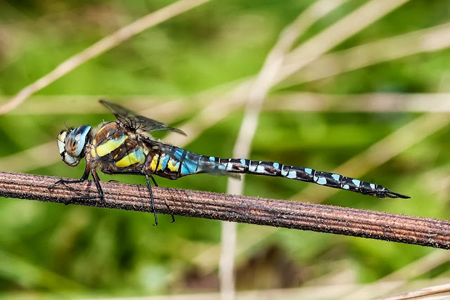 Dragonflies of Milton Keynes - Southern Hawker (male)