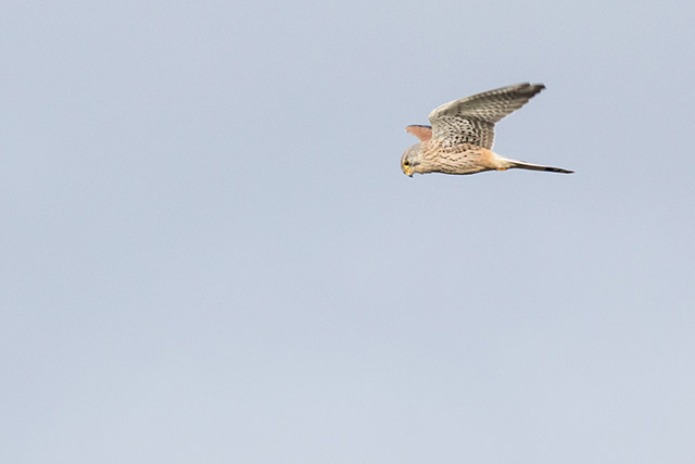 Common Kestrel in Flight - 2500 Miles Nov Update