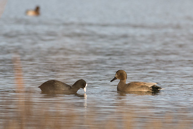 Gadwall and Coot