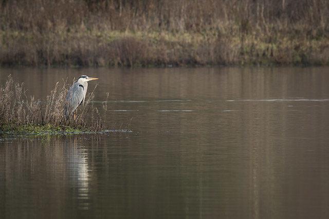 Grey Heron Watching over the Water