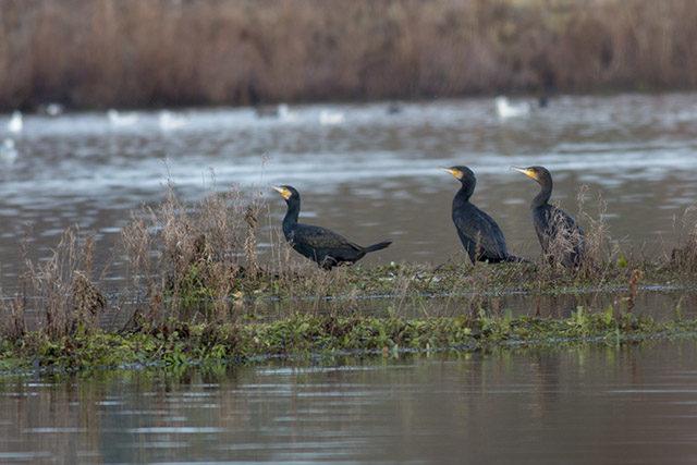 Cormorants in a row