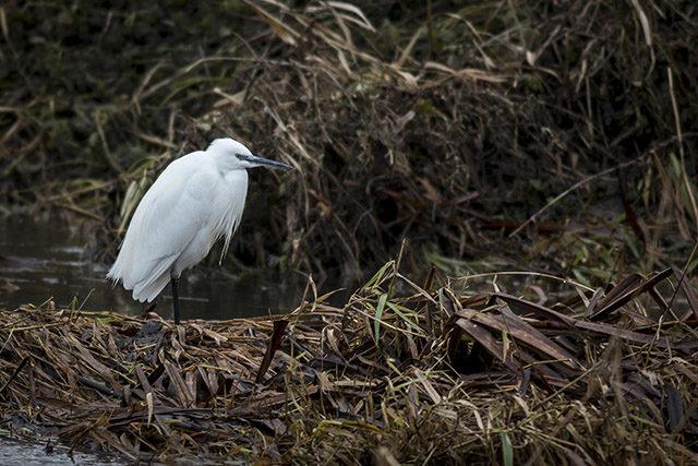Little Egret along the River Ouse