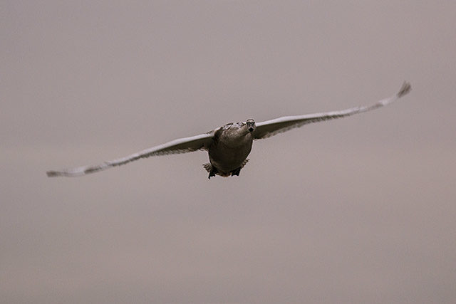 Young Mute Swan in Flight