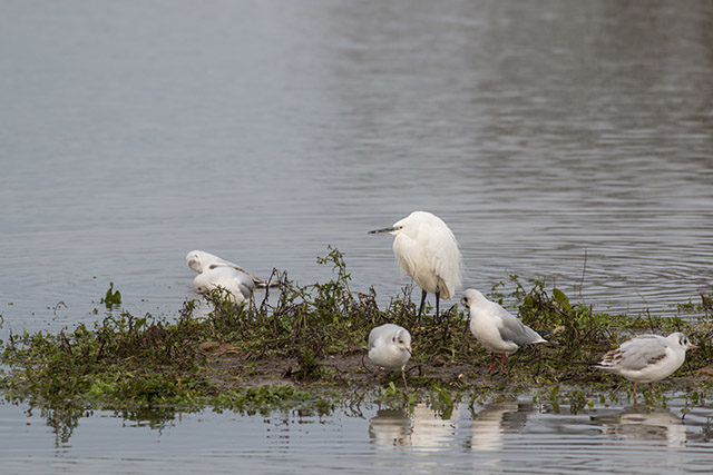 Island Egret - Little Egret stood on island, surrounded by gulls