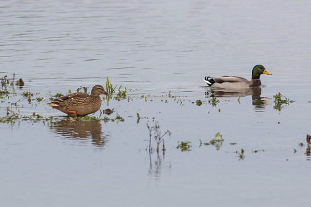 Mallard swimming (male and female)