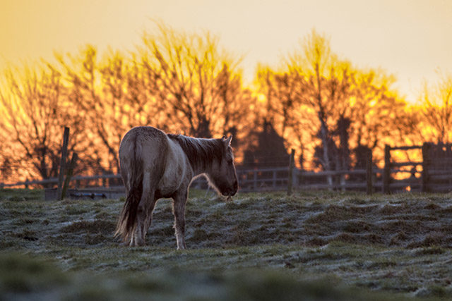 Konik Pony at Sunrise