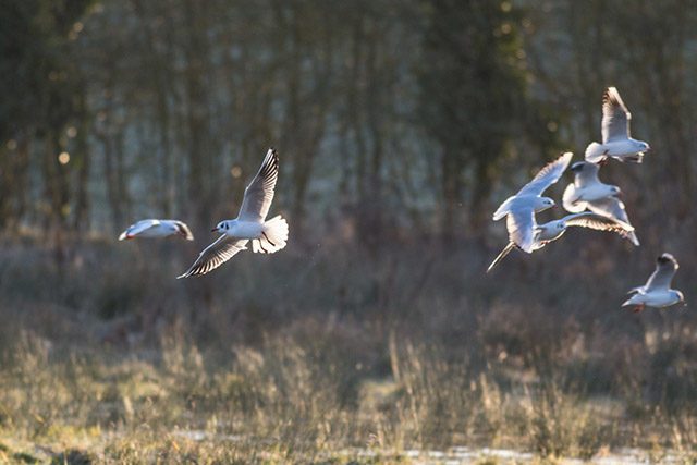 Gulls using the fields as ponds