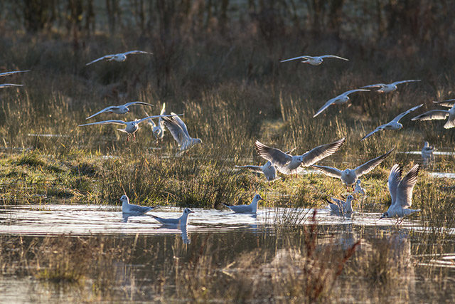 Gulls in the flood waters
