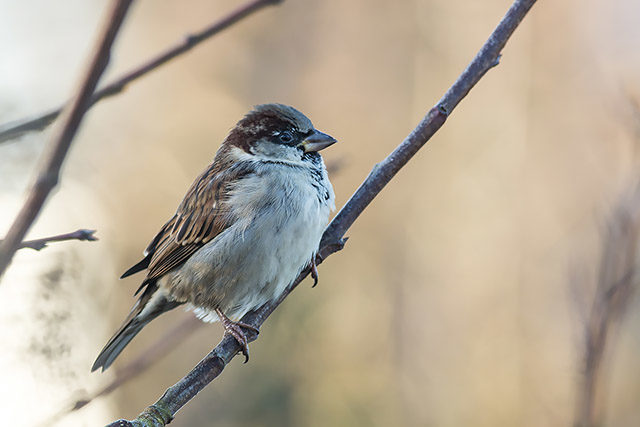 Old Spadger - The once common, now sadly in great decline House Sparrow